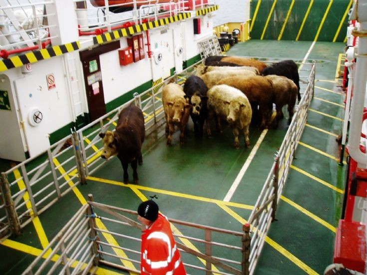 Graemsay cattle