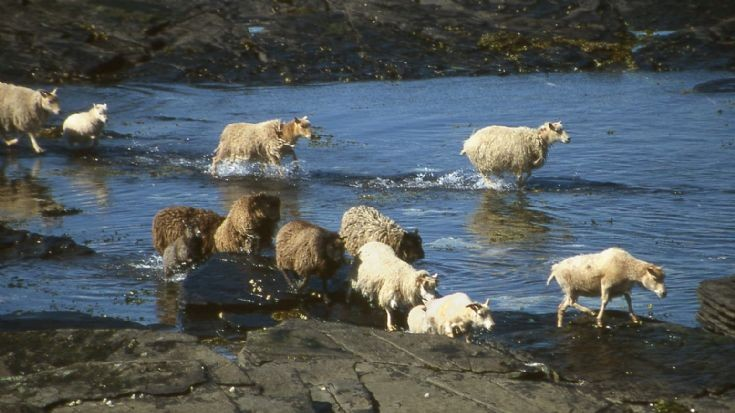 Shoreline sheep