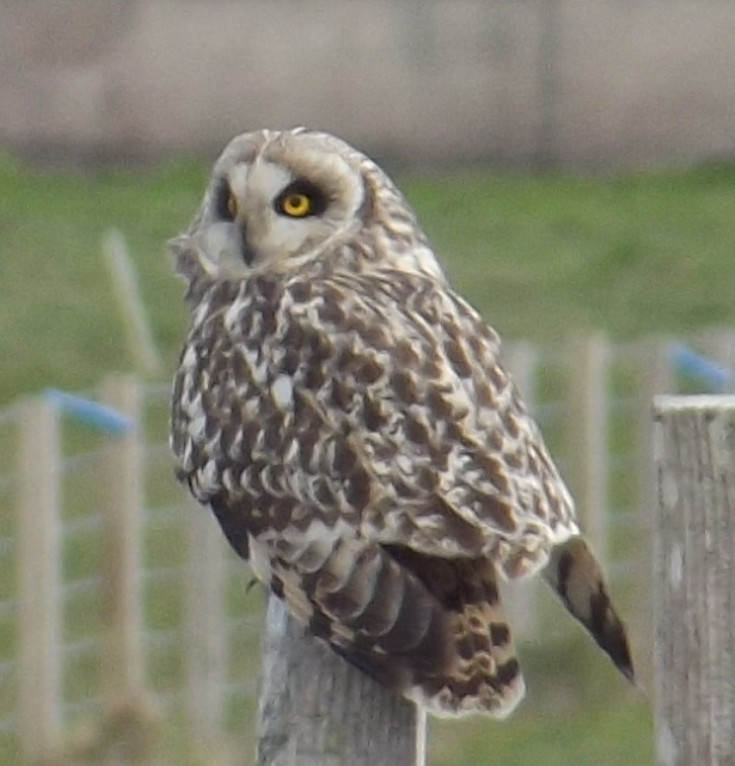 Short Eared Owl on the Swartland Road