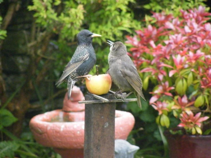 Starling doing some mothering
