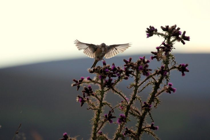 Hovering bird, perhaps a Linnet