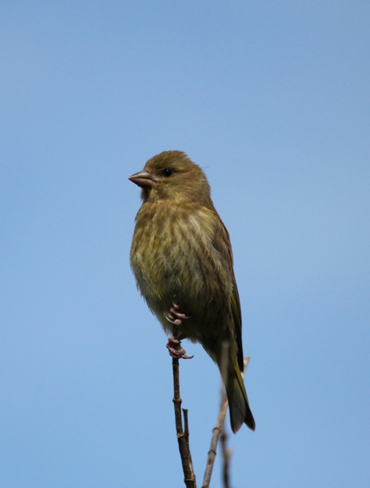 Female Greenfinch ?
