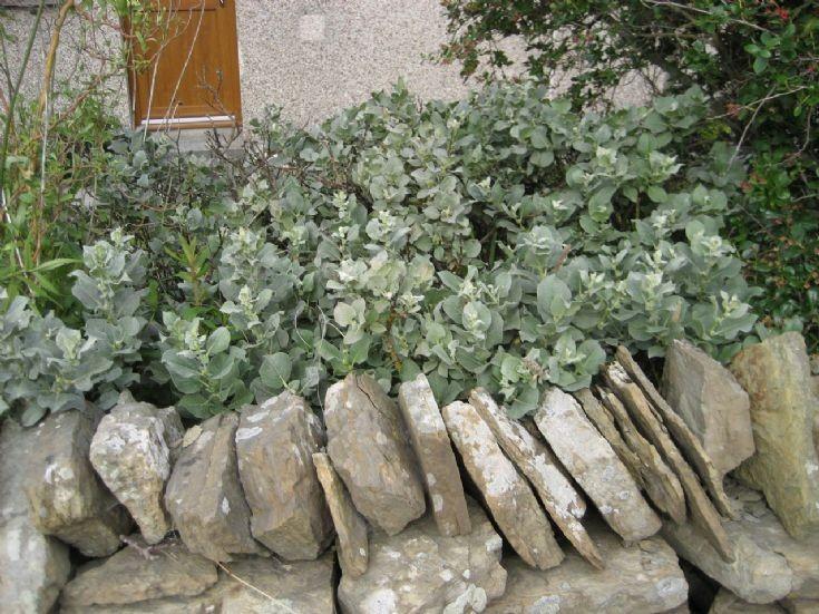 Salix lanata - woolly willow