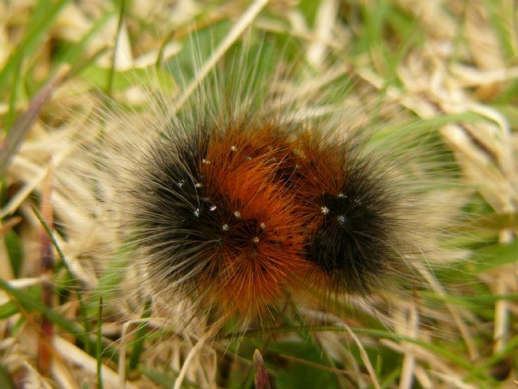 A little hairy caterpillar
